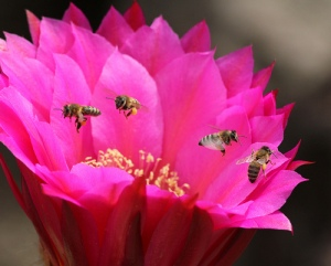bees pink flower